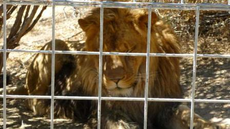 Photo of the Project Survivals Cat Haven lion named Cous Cous.