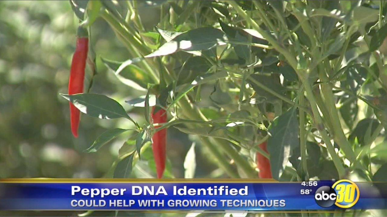 DNA markers found in peppers