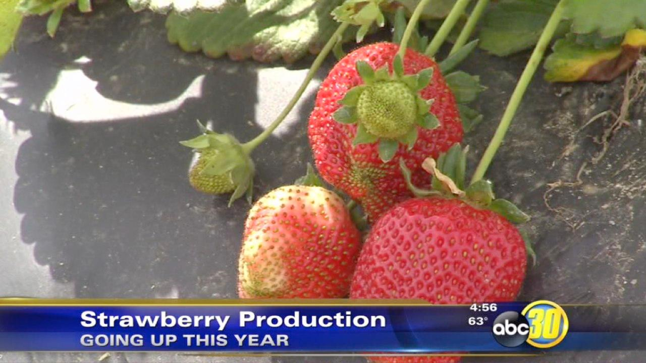 Strawberry production in California continues to climb