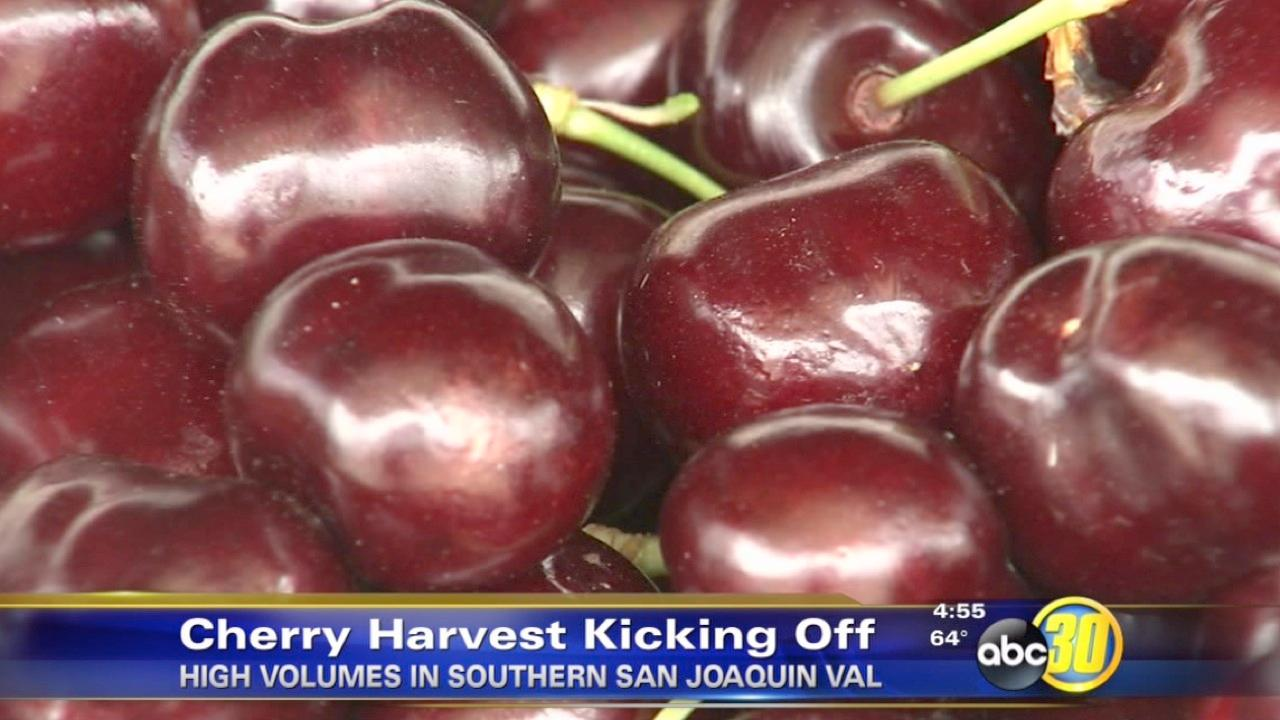 The cherry harvest is kicking off