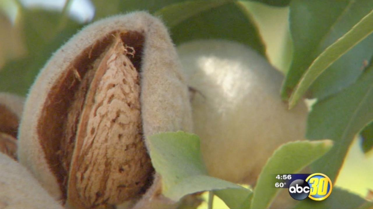 California growers expect 2 billion pounds of Almonds