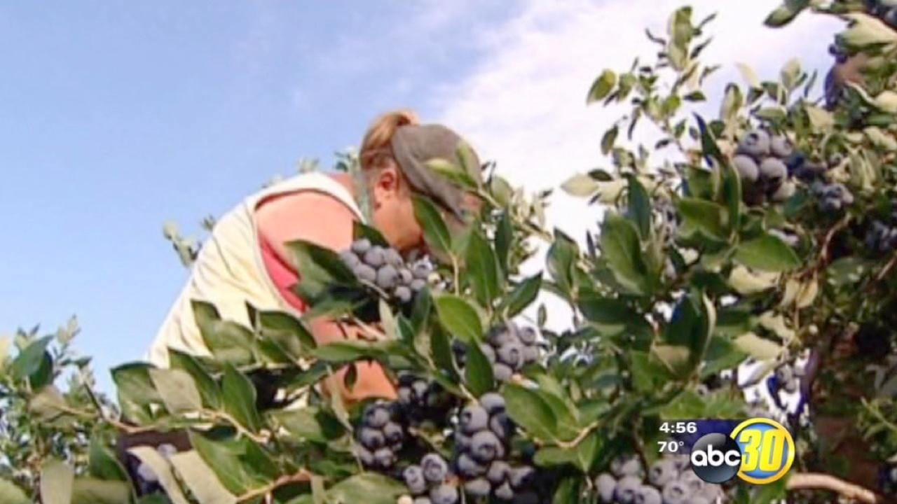 The blueberry harvest is underway in California