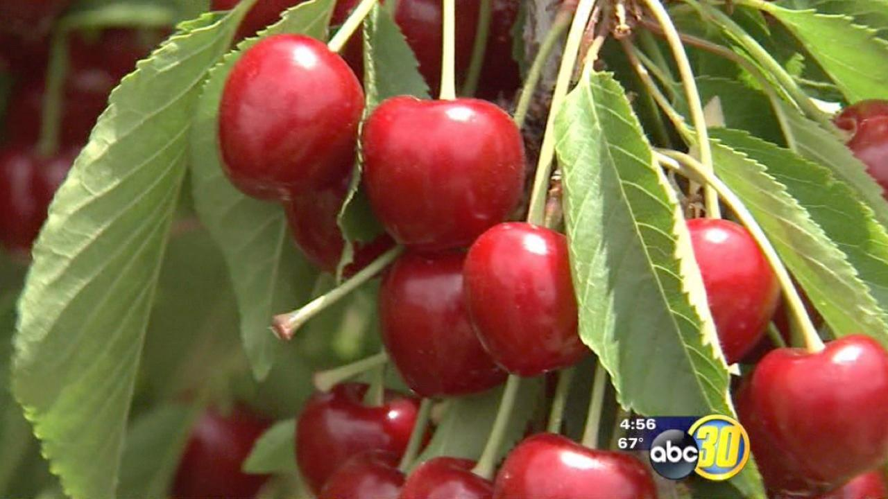 California cherry harvest begins