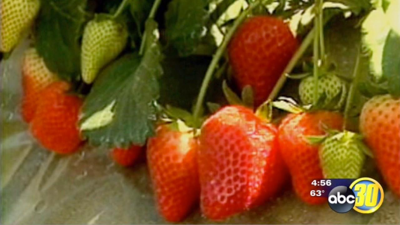 Strawberry growers continue to meet increasing demand