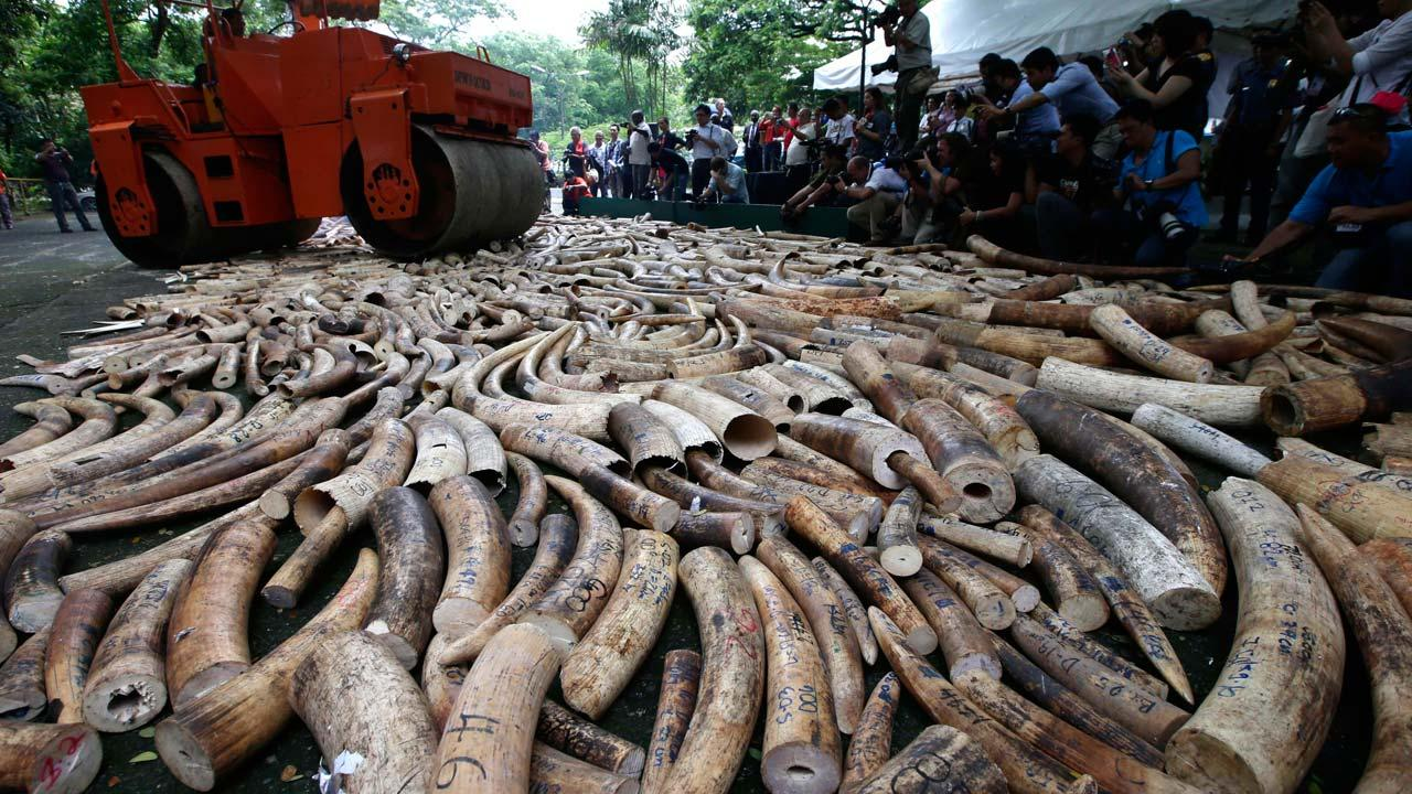 A steamroller is used to crush seized elephant tusks during a ceremony at the Protected Areas and Wildlife Bureau of the Department of Environment and Natural Resources in Quezon city, northeast of Manila, Philippines