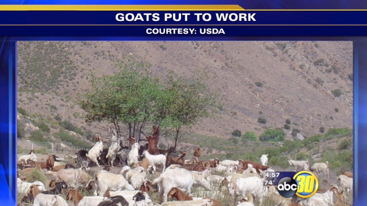 U.S. Forest Service use goats to clear brush