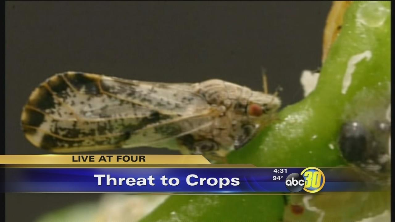 Large quarantine issued in Tulare County due to citrus pest