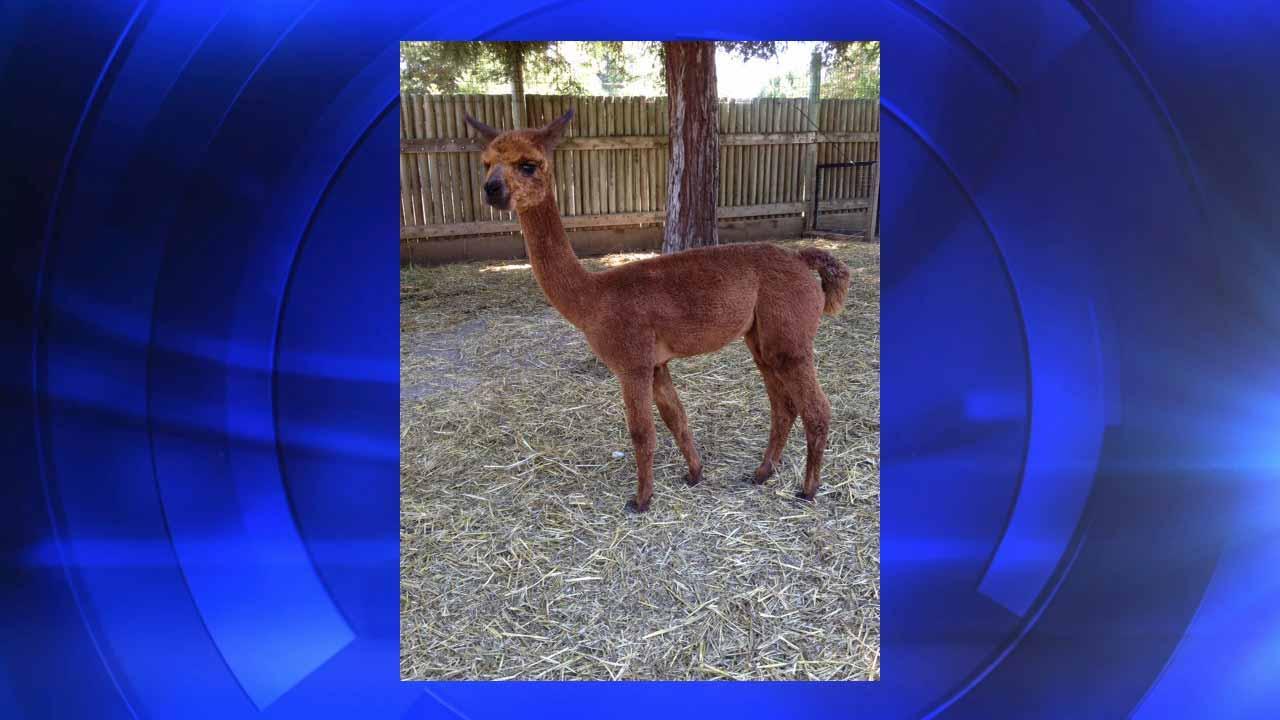 Applegate Park Zoo needs help naming new alpaca