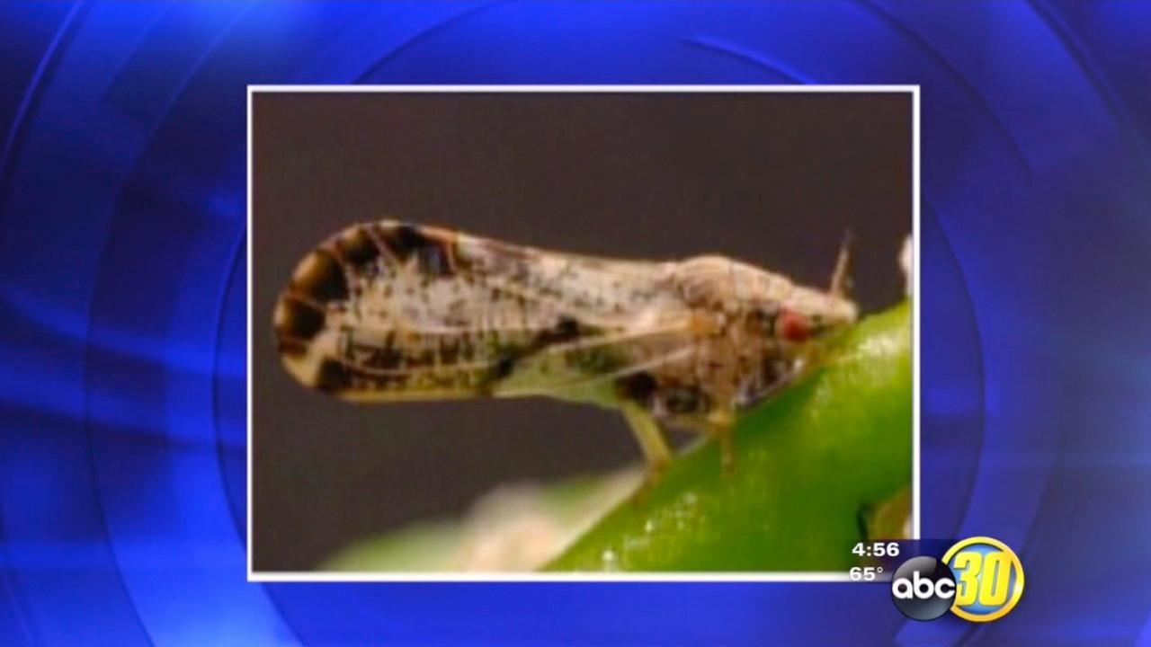 Killer wasps used to eradicate Asian citrus psyllid