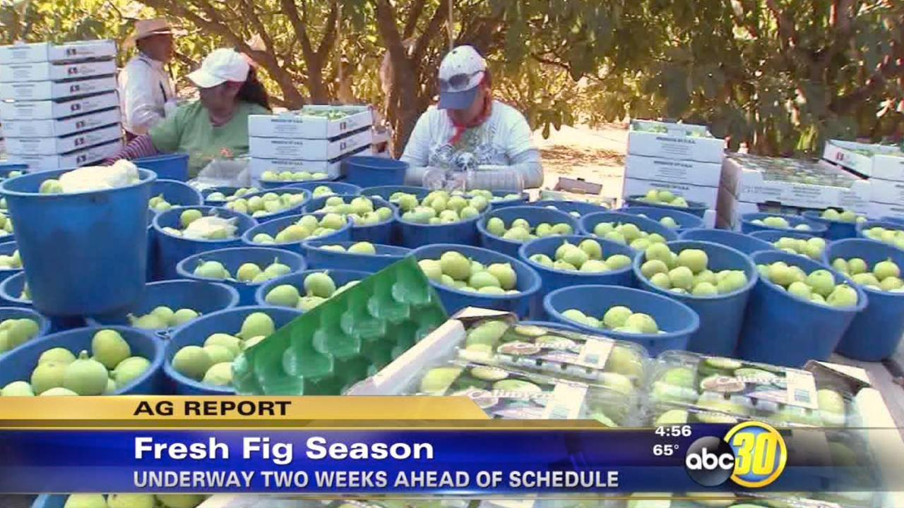 The California fresh fig season arrives early