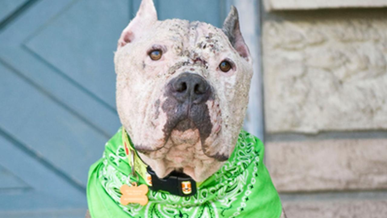 Enzo the pit bull enters American Dog Magazine contest