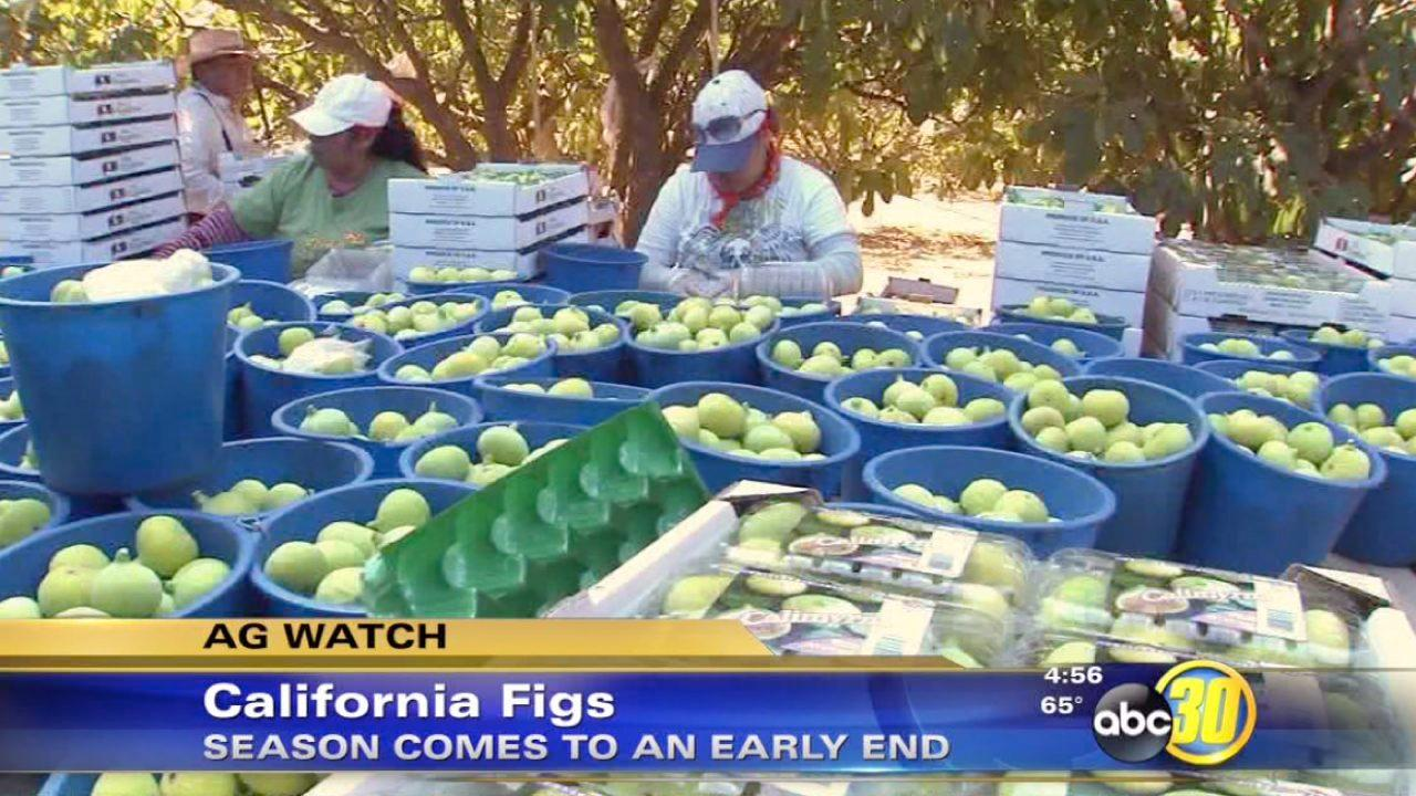 California fig harvest comes to an end