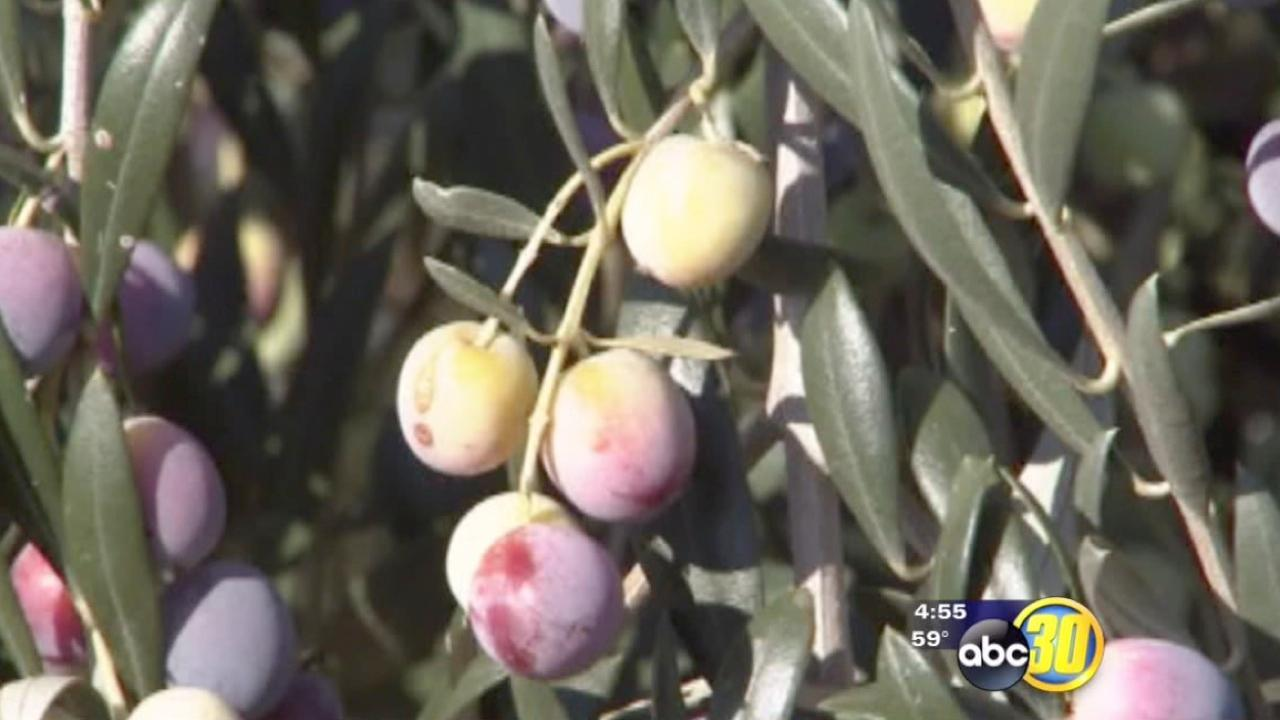 California olive harvest begins