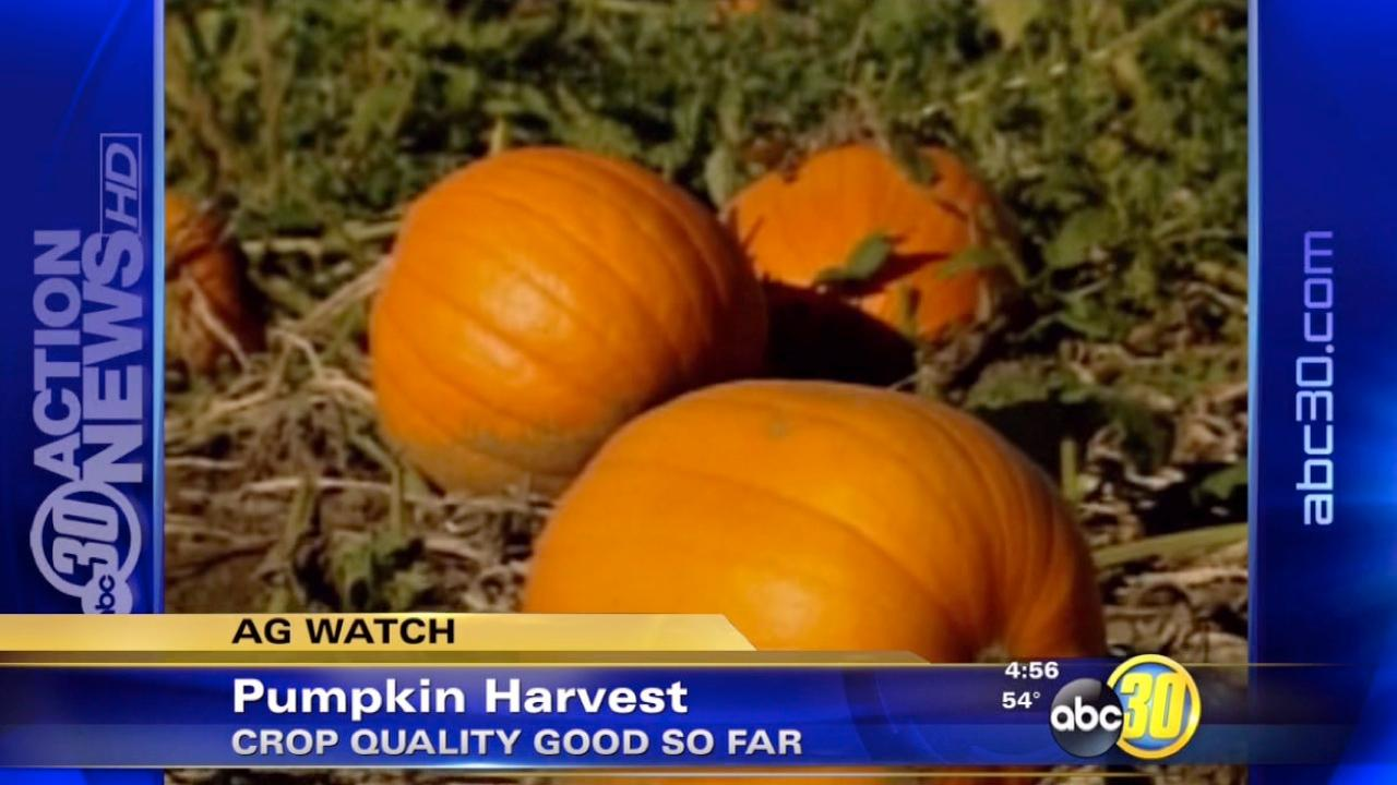 Pumpkin farmers gear up for new season
