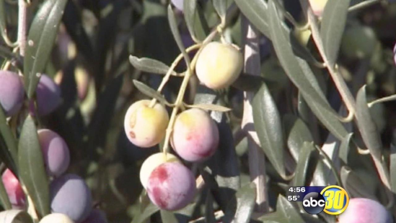 Olive harvest sees high yields, labor shortage