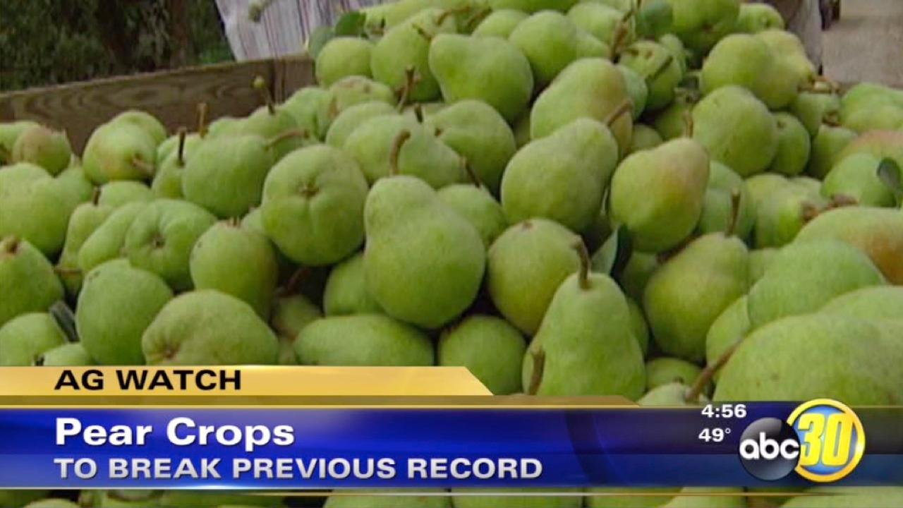 Pear growers are seeing record-breaking harvest