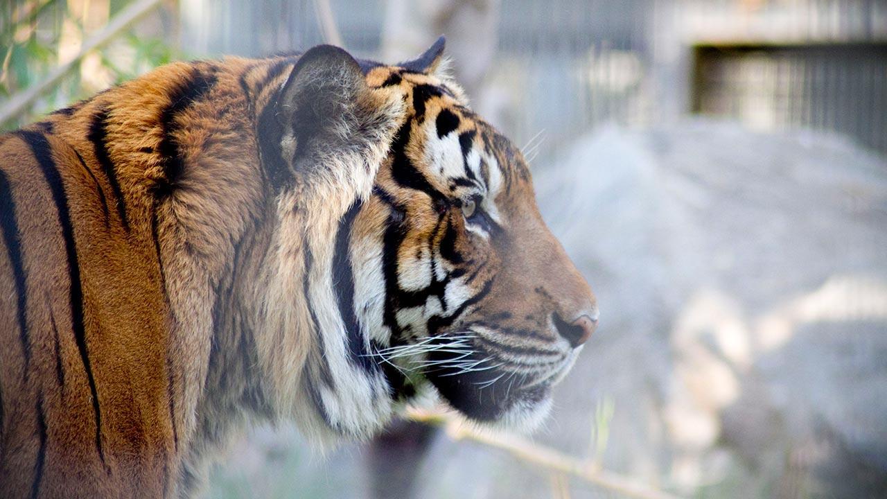 Paka, Malyan tiger <span class=meta>(Fresno Chaffee Zoo)</span>