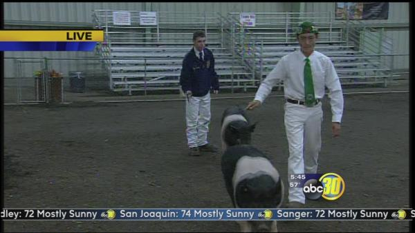 Students prepare for livestock auction at the Big Fresno Fair