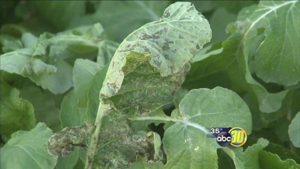 Small Hmong farms losing crops to bitter cold