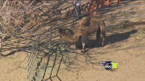 Camel escapes in rural Los Angeles County