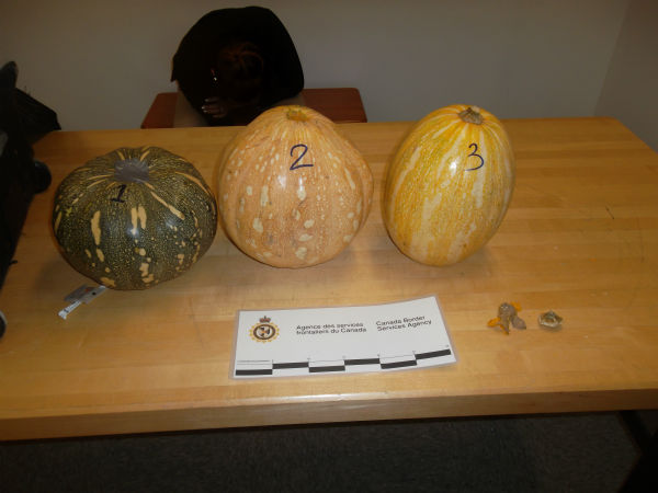 Authorities say three pumpkins found in a woman's luggage at an airport in Montreal were stuffed with more than four pounds of cocaine.