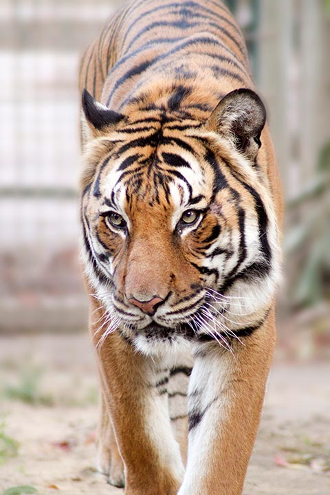 "<div class=""meta ""><span class=""caption-text "">Paka, a Malyan tiger (Fresno Chaffee Zoo)</span></div>"
