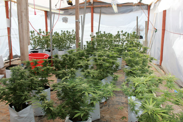 Madera County authorities say this pot grow led to a shootout Sunday night and the arrest of the man responsible for the plants. <span class=meta>(KFSN Photo&#47; Madera County Sheriff&#39;s Department)</span>