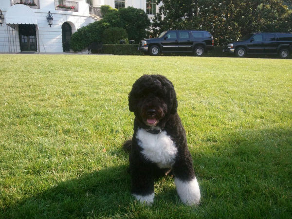 Bo, President Obama&#39;s dog, came out to the South Lawn to greet the media. <span class=meta>(KFSN Photo&#47; Marquese Brown)</span>