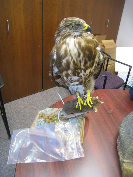 Alfredo Vazquez, 50, of Montebello was arrested for allegedly selling a mounted hawk. The arrests are a result of Operation Cyberwild, a task force investigation that led to the arrests of 10 people in California, as well as two individuals in Nevada. <span class=meta>(United States Department of Justice&#47;Central District of California)</span>