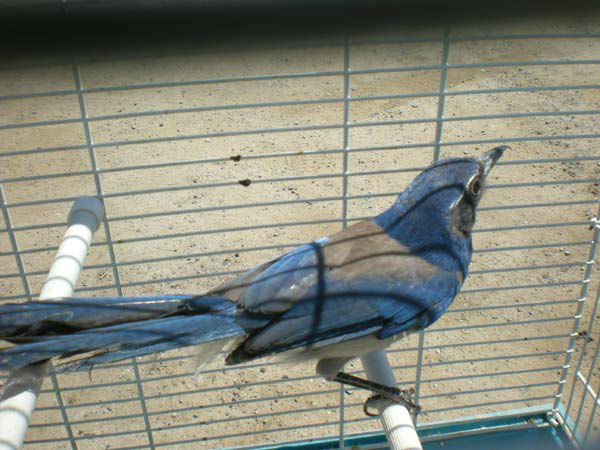 Karla Trejo, 42, of Sherman Oaks was arrested for allegedly selling a live Western Scrub-Jay for $185. The arrests are a result of Operation Cyberwild, a task force investigation that led to the arrests of 10 people in California, as well as two individua