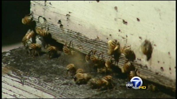 CA Honeybees die at alarming rates