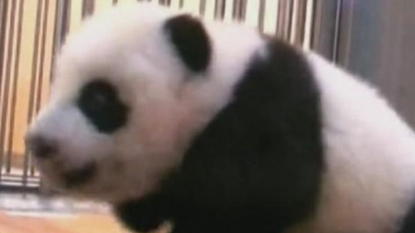 Taipei Zoo panda cub learns to crawl