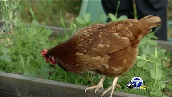 Urban chicken trend on rise in Bay Area