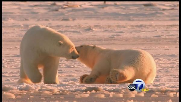 Movie offers glimpse of polar bear life