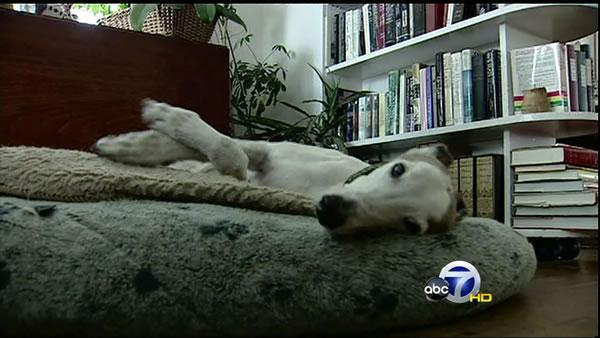 Bay Area welcomes rescued Greyhounds