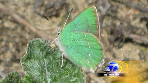 Neighbors work to save endangered butterfly