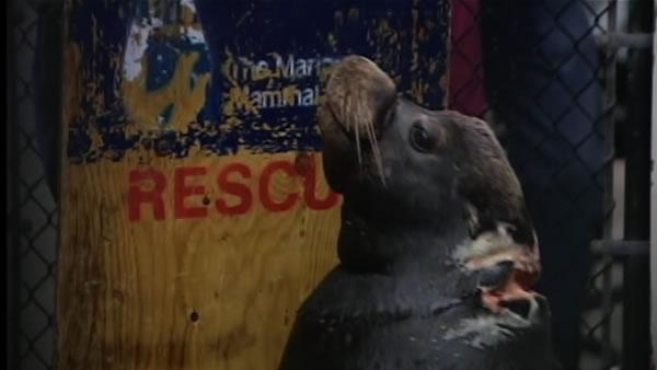 Injured sea lion finally caught at Moss Landing