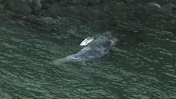 Agencies watch where dead whale will land