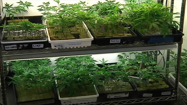 Oakland to vote on large marijuana farms