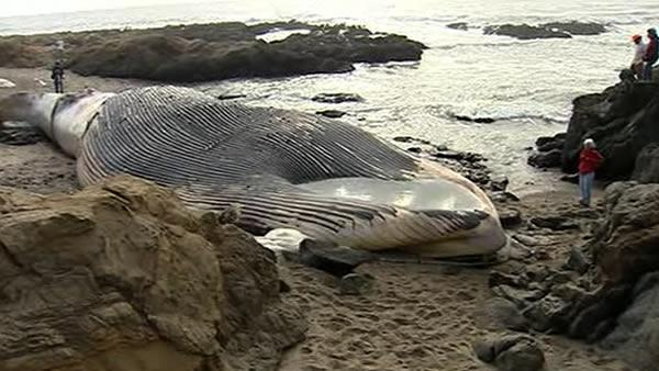 Pregnant blue whale found dead on beach