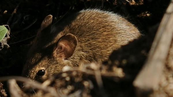Tiny mice could cause big upset on Farallon Islands