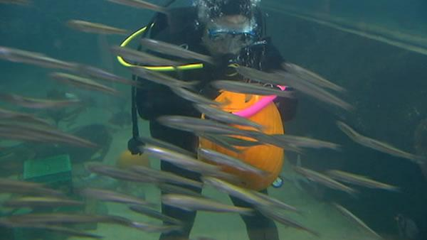 Divers carve pumpkins underwater