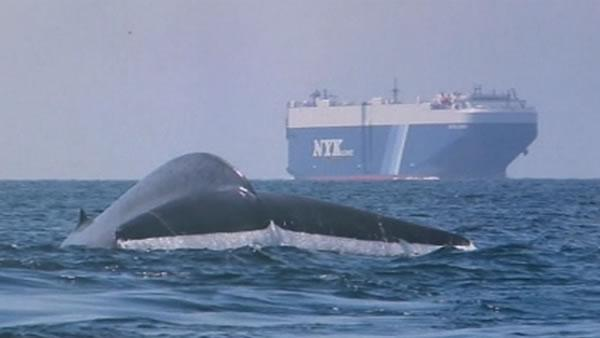 New effort to protect whales outside Golden Gate
