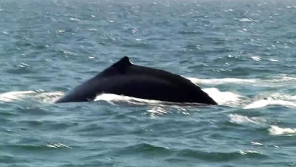 Fleet Week boaters told to be on the lookout for whales