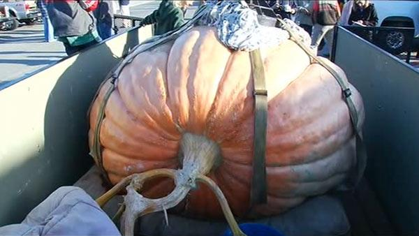 Pumpkin weigh-off taking place in Half Moon Bay