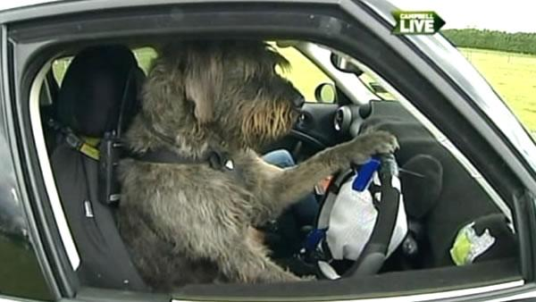 New Zealand SPCA trains dogs to drive
