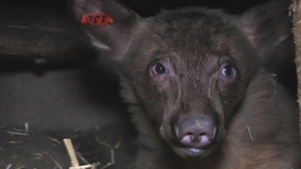 Lake Tahoe wildlife center is busy with bears