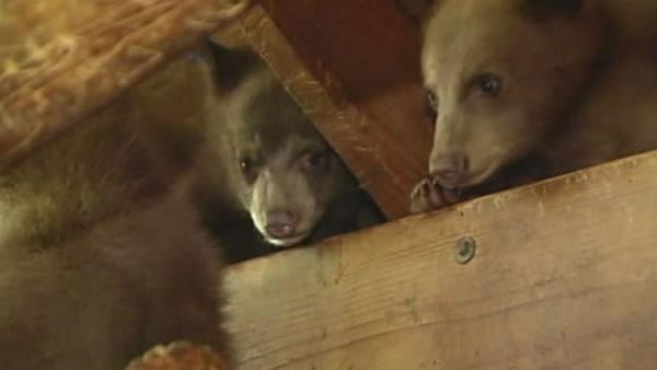 Lake Tahoe wildlife center releases bear cubs into wild