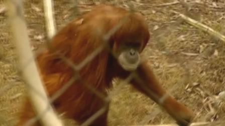 Orangutan at Fresnos Chaffee Zoo picks 49ers to win Super Bowl