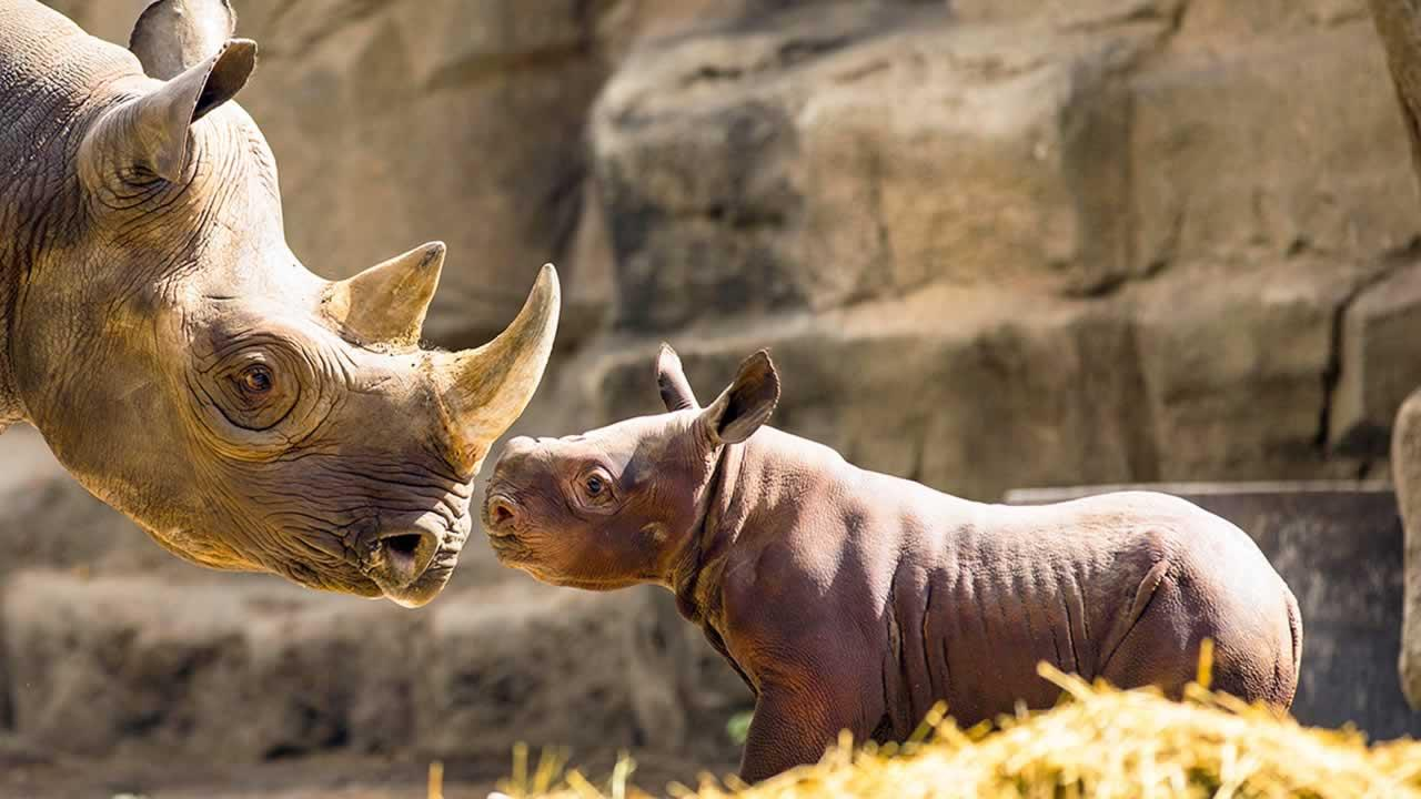 King, a rare baby black rhino, made his debut at the Lincoln Park Zoo in Chicago.